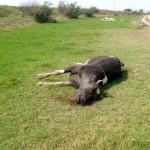ölü inek